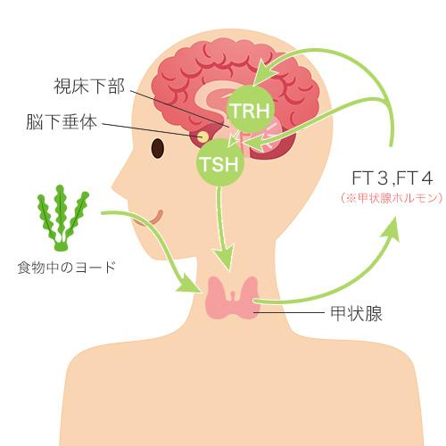 甲状腺がホルモンを作る仕組み